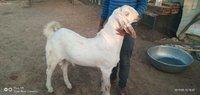 Eid Goats