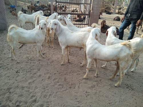 Sojat Goat - Suppliers, Dealers & Wholesalers