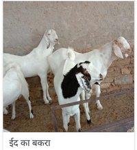 Sojat Kurbani Goats