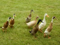 Indian Ducks