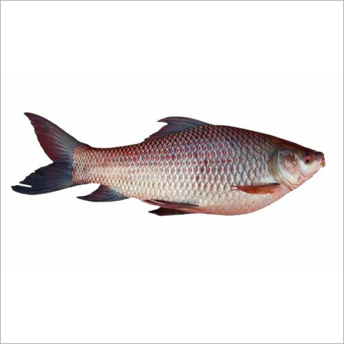 Fresh Rohu Fish