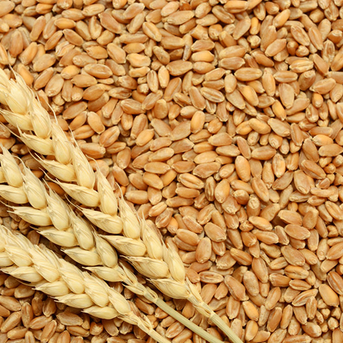 Pure Wheat Grain