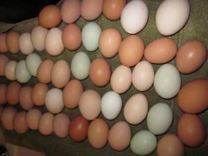 Fresh Farm Eggs Premium Grade From Netherlands