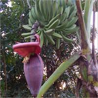 Plantain Flower
