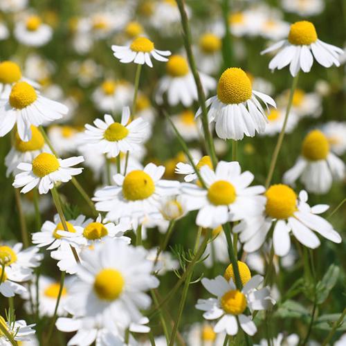 Chamomile German Hydrosol Floral