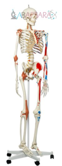 Human Skeleton With Muscles & Ligaments (Fibre Glass Models)