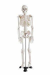 Mini Skeleton (Fibre Models)