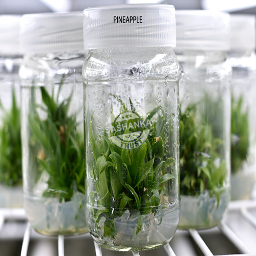 Tissue Culture Pineapple Plant
