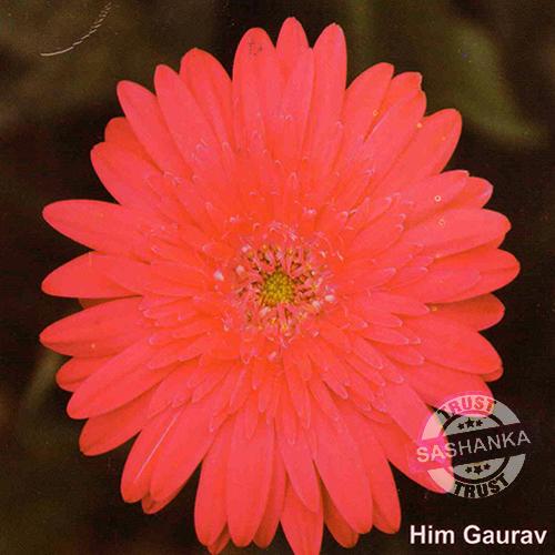 Tissue Culture Gerbera Plant
