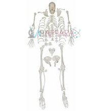 Disarticulated Skeleton (Fibre models)