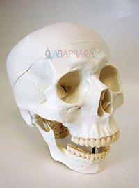 Life Size Skull (Fibre Glass Model)