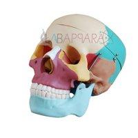 Life Size Coloured Skull (Fibre Glass Model)