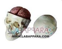 Skull Model with 8 Parts Brain (Fibre Glass models)