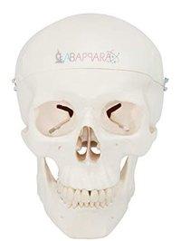 Human Skull Model Dx. (Fibre Glass Models)
