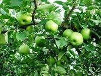Quality Fresh Gala Apples