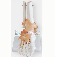 Life-Size Foot Joint with Ligaments (Model)