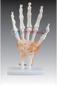 Life-Size Hand Joint with Ligaments (Model)