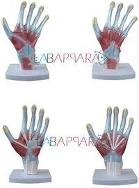 Palm Anatomy (Model)