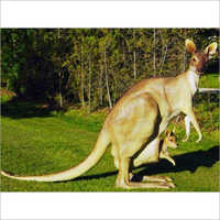 FRP Kangaroo With Joey