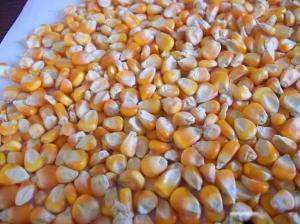 Yellow Corn Animal Feed Yellow Maize
