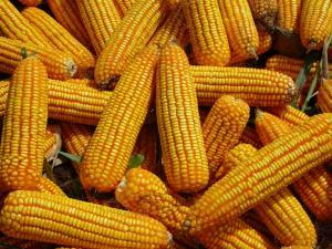 Good Quality Animal Feed Yellow Corn Maize