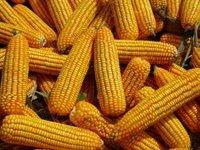 Good Quality Animal Feed Yellow Corn Maize