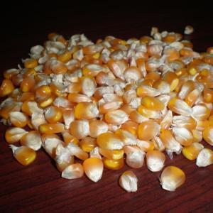 Grade A Yellow Corn / White Maize (Non GMO