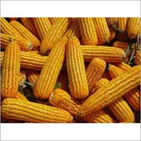 Yellow Maize & Yellow Corn for Sale Worldwide