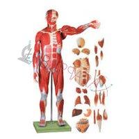 Male Muscle Figure (Model)
