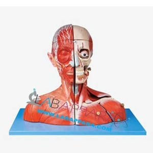 Head and Neck with Blood Vessels, Nerves and Brain (Model))