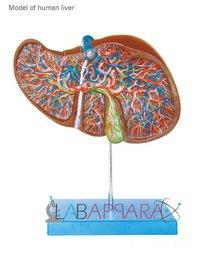 Liver (Model)