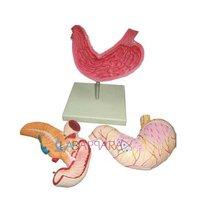 Human Stomach, Pancreas & Duodenum