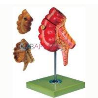 Appendix and Caecum (Model)