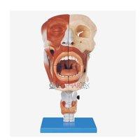 Nasal, Oral, Pharynx & Larynx Cavities (Model)