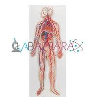 Human Circulatory System (Model)