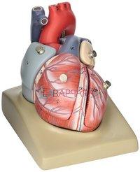 Human Heart (7 Parts) (Model)