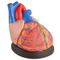 Middle Heart (Model)