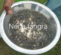 Nona Tangra Fish Seed