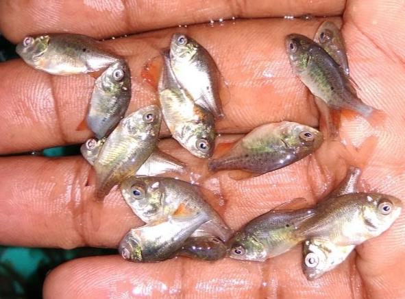 Roopchand Fish Seed