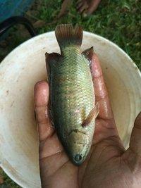Vietnam Koi Fish Seed