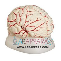 Brain with Arteries (Model)