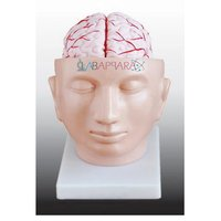 Brain with Arteries on Head (Model)