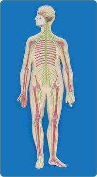 Human Nervous System (Model)