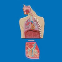 Human Respiratory System (Model)