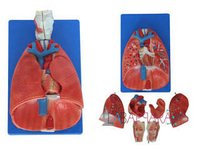 Larynx, Heart and Lungs Model