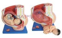 Human Female Pelvis Section (4 parts) (Model)