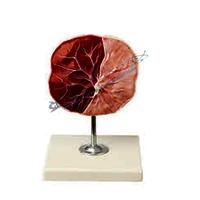 Human Placenta (Model)