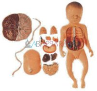 Fetus with Viscera and Placenta (Model)