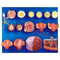 Human Fertilization and Early Embryogeny (Model)