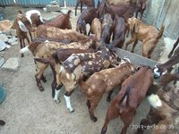 Goat for Meat
